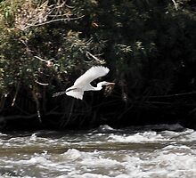 Great White Egret Flying Over the River by RatManDude