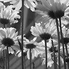 Daisy Umbrella black and white by nikspix