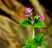 Red Campion by Chris McIlreavy