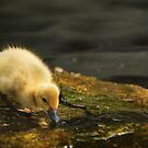 The Little Duckling by Ted Lansing
