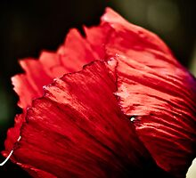 Poppy beauty by Pat Shawyer