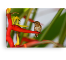 Red Heliconia Hummingbird Canvas Print