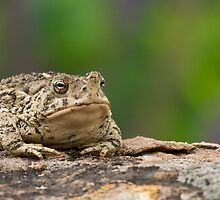 Woodhouse's Toad  by Peter Denness