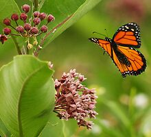 Viceroy Butterfly by Fojo