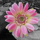 """just a gerbera by Kylie Van Ingen"