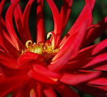 Dancing Dahlia by Lozzar Flowers & Art