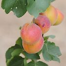Apricots by Anne Smyth