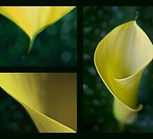 The yellow calla by Barbara  Corvino