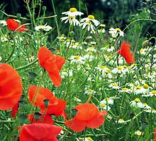 Wild daisies/poppies by Plain