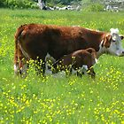 Buttercups & Cows by mooselandtours