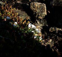Alpine flowers look for midnight sun by LichenRockArts