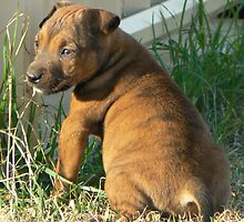 Brindle pup by StaceyH