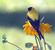 Gold Finch by BarbL