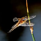 Dragonfly by Mick Smith