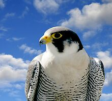 PEREGRINE FALCON by TomBaumker