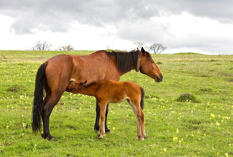 Quot Horse And Foal Drinking Milk Quot By Vkph Redbubble