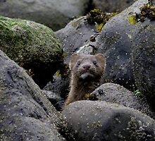 Mink by Al Williscroft