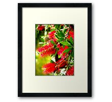 Bottle Brush Tree Framed Print
