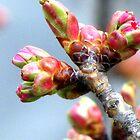 Spring Buddings by Lana Kole