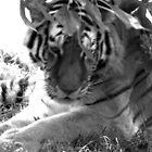 Tigress by Renee Keener