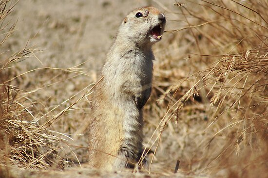 Richardson's ground squirrel by zumi