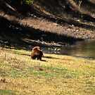 """Cinnamon"" Black Bear - On a Slope by Stephen Beattie"