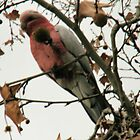 Is this my best side-galah. by elphonline