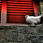 Dove on a Windowsill by Michael Brewis