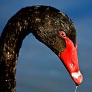 Black Swan Portrait by Carol Ritchie