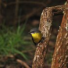 Yellow Robin by rodesigns