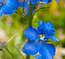 Larkspur Blue by DonDavisUK