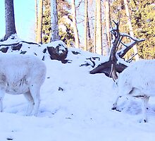 Dall Sheep Rams by copperhead