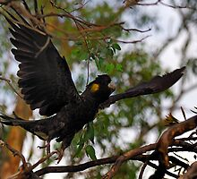 Black cockatoo by John  Spry