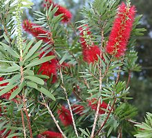 Bottle Brush Tree by DuvLady