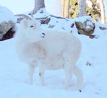 Dall Sheep Ram by copperhead