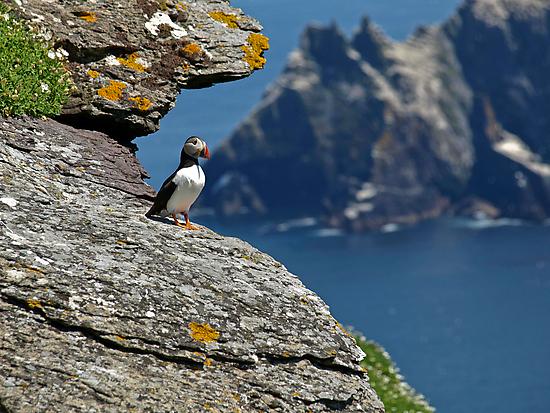 Puffin Skellig Island, Ireland by upthebanner