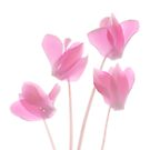 Cyclamen on White by Marsha Tudor