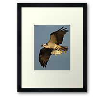 Osprey Fishing Framed Print