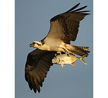 Osprey Fishing Photographic Print