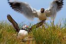 Intimidation on the Farne Islands by David Lewins