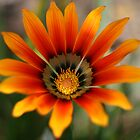 Orange gazania flower by Sangeeta