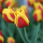 Tulips by Sangeeta