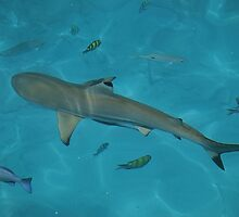 Blacktip Shark by Erin-Louise Hickson