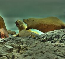 SeaLions by NoahC