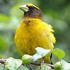 Evening Grosbeak by okcandids