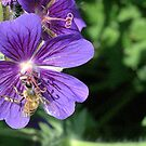 a bumble bee on the hardy gerainium flower by memaggie
