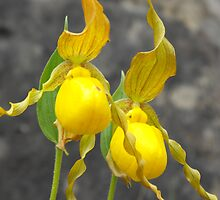 Large Yellow Lady's Slipper- Cypripedium calceolus by Tracy Faught