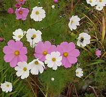 Windflowers( Japanese Wood Anemones) by johnrf