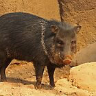 Peccary by Robert Abraham