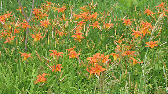 tiger lilies by nikspix